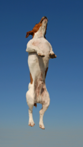 Jack Russell jumping up