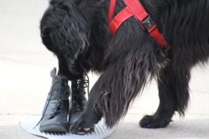 Newfoundland dog competing in nosework and scent detection